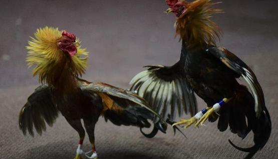 Situs Judi Sabung Ayam